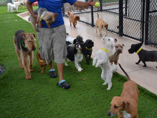 Artificial Grass Photos: Artificial Grass Beverly, Texas Indoor Dog Park, Dogs Park